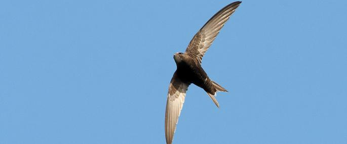 Swifts on flight are sickle-shaped - Stefan Johansson - Stefan Johansson